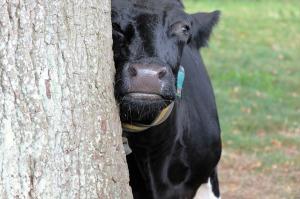cow-1805371_960_720